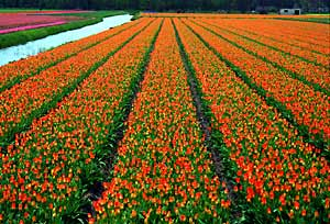 tulip fields near haarlem
